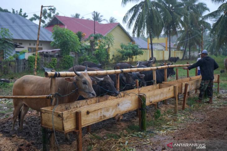 Pedagang sebut penjualan sapi kurban berkurang akibat pandemi