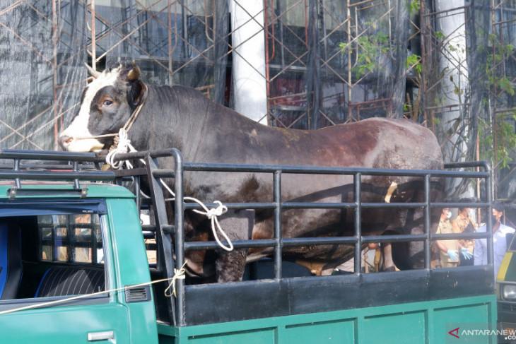 Gubernur Kalbar serahkan sapi kurban 923 kilogram dari Presiden