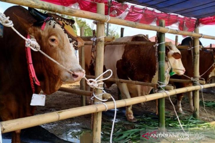 Gubernur Gorontalo serahkan sapi bantuan Presiden Jokowi di Boalemo