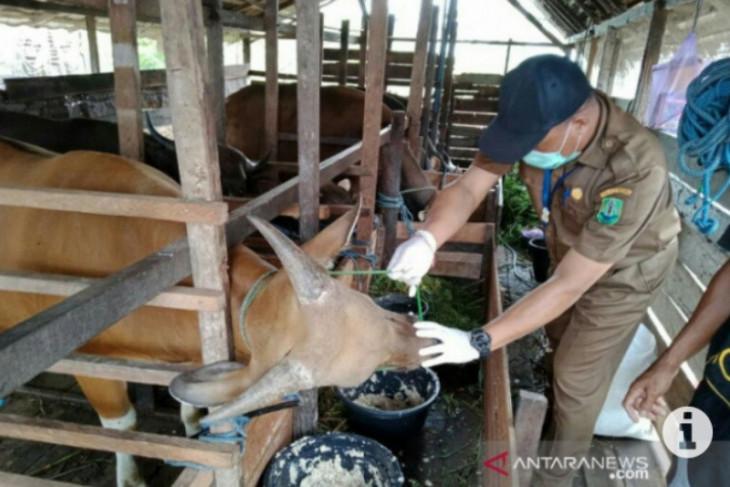 Bupati Aceh Tamiang kurban 12 ekor sapi