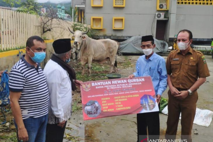 Presiden Jokowi sumbang sapi kurban 900 Kg untuk Maluku begini penjelasannya