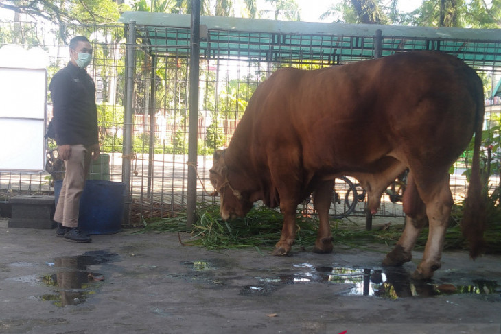 Presiden sumbang seekor sapi kurban di Masjid Raya Sabilal Muhtadin