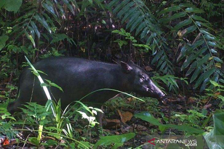 BKSDA Meranti merah jadi petunjuk daerah jelajah babirusa di Pulau Buru begini penjelasannya