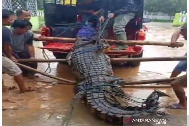 BKSDA amankan seekor buaya panjang 3,9 meter