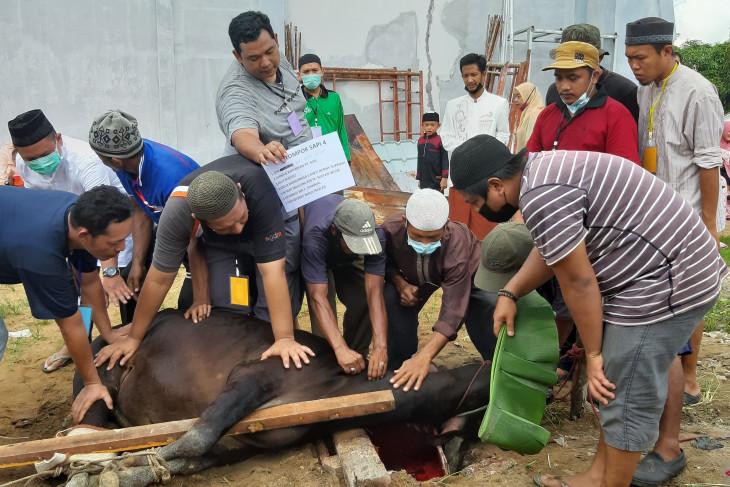 Hewan kurban di Kalbar  Tahun1442 H capai 12.561 ekor
