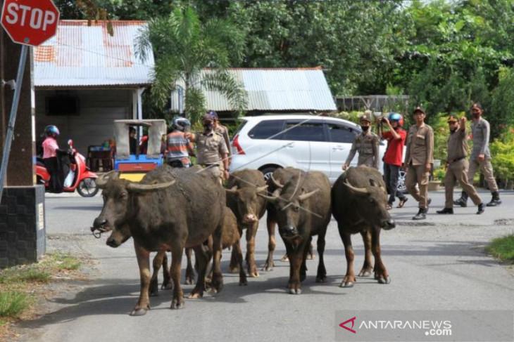 Lepas hewan ternak, pemilik didenda Rp100 ribu