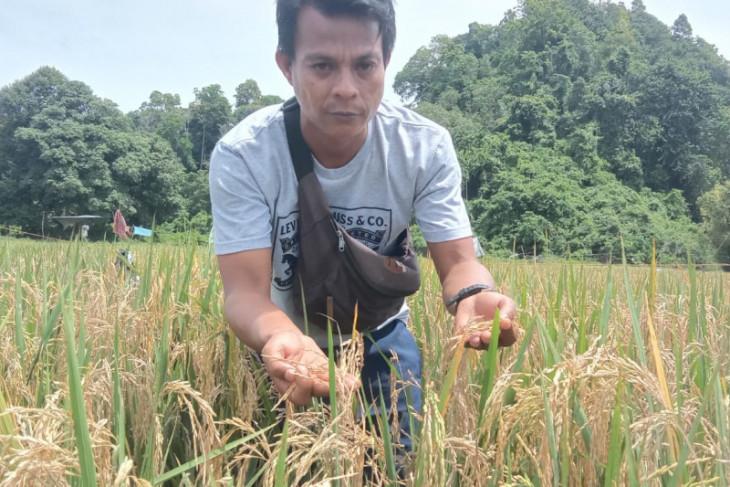 Diserang hama Nexs Blas, padi di Aceh Jaya terancam gagal panen