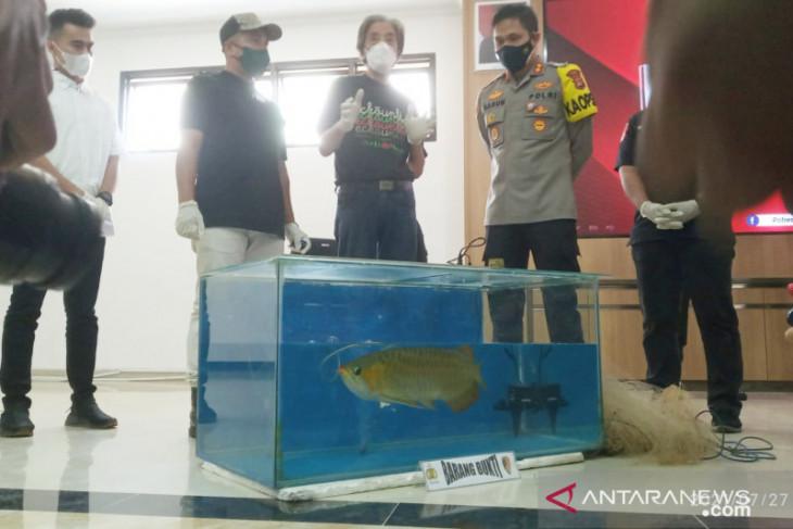 Polres Bogor ungkap kasus pencurian ikan arwana seharga Rp24 miliar (video)