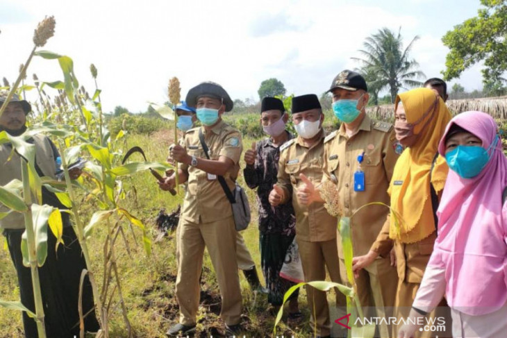 Kalbar siapkan 100 hektare sorghum di Kabupaten Mempawah