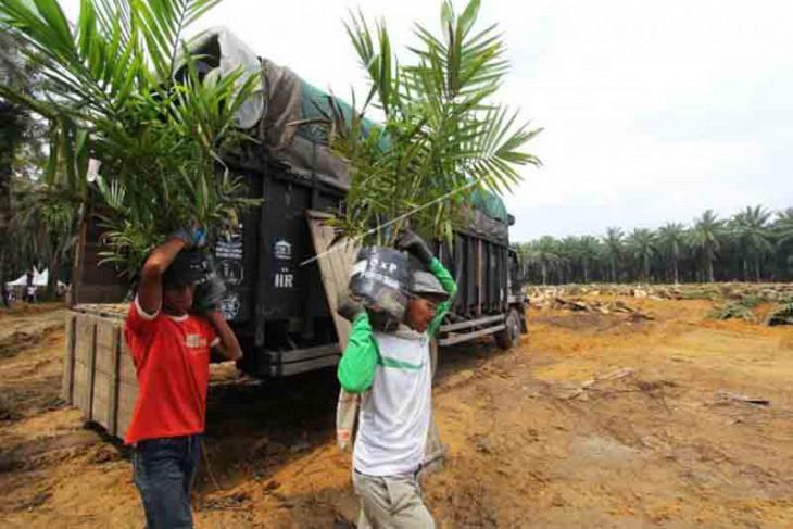 Program peremajaan sawit di Aceh jangan gunakan bibit asal-asalan