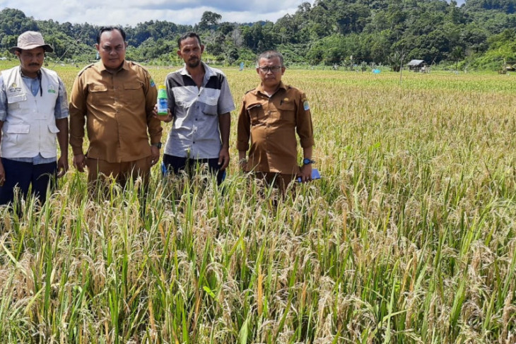 Petani Aceh Jaya dipaksa panen lebih awal, ini penyebabnya