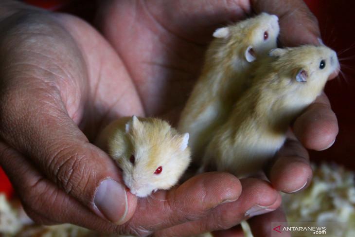 Petenak Hamster Malang