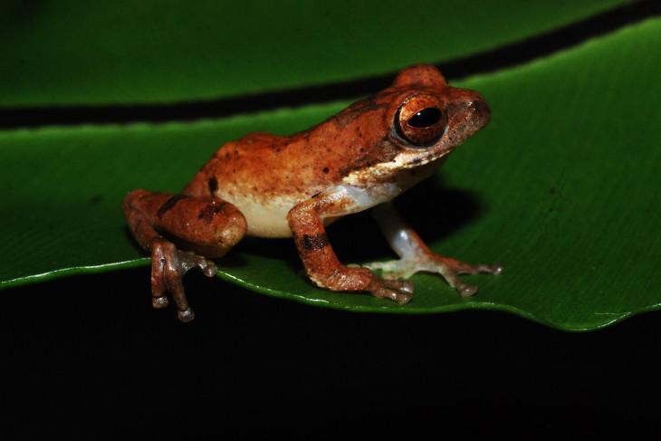 Spesies baru katak-pucat pantaiselatan ditemukan di hutan Garut