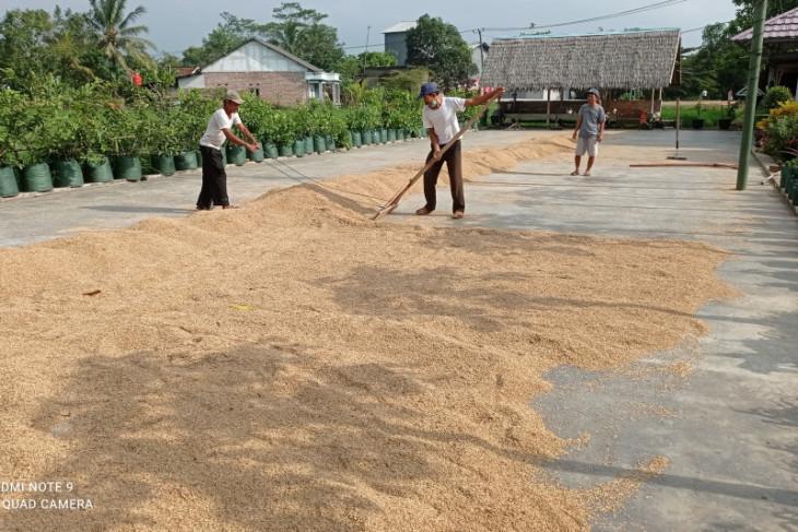 Petani Lebak mulai panen padi seluas 50 hektare