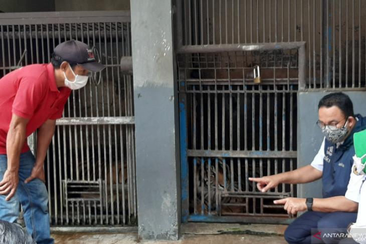 Dua harimau terpapar COVID-19 di Ragunan sudah mulai membaik
