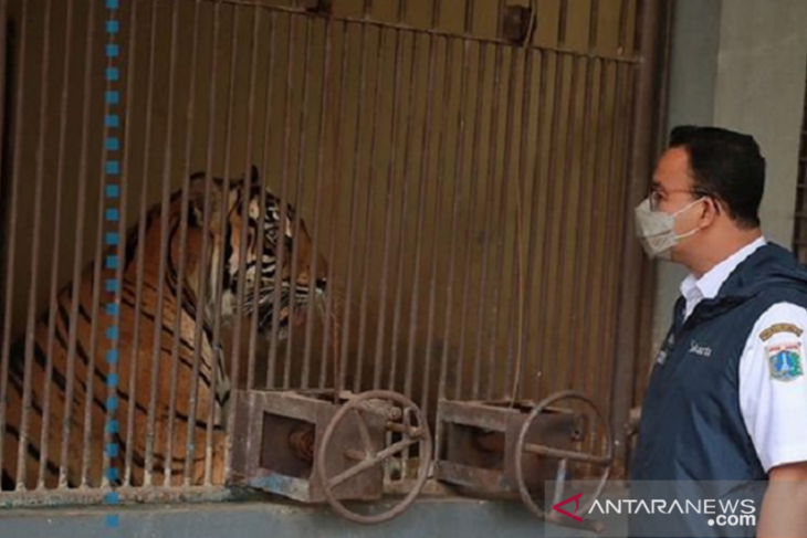 Jakarta governor visits two Sumatran tigers contracting COVID-19
