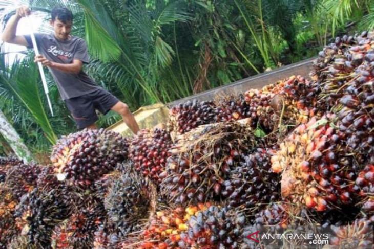 Ribuan hektare kebun sawit di Aceh tidak produktif