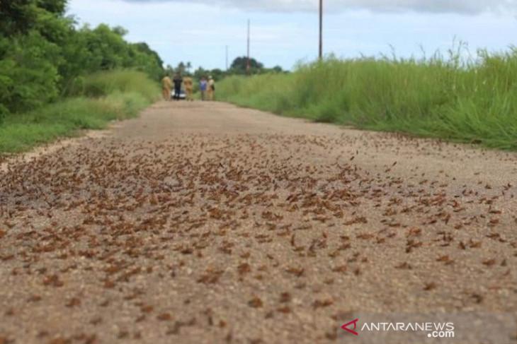 Hama belalang kumbara masih serang desa di Sumba
