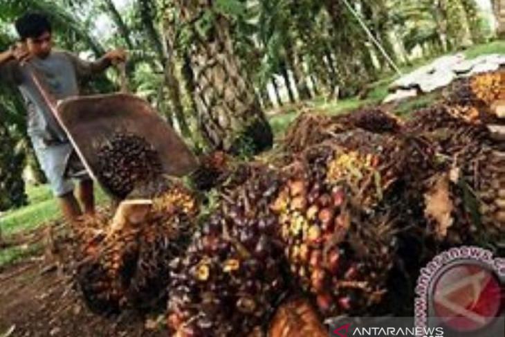 Harga sawit Riau capai tertinggi dalam sejarah