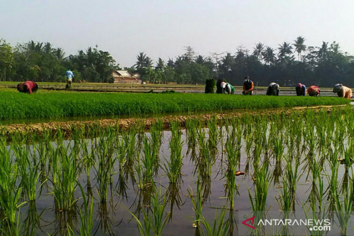 Dinas Pertanian Karawang garap varietas padi jenis Inpari IR Nutri Zinc