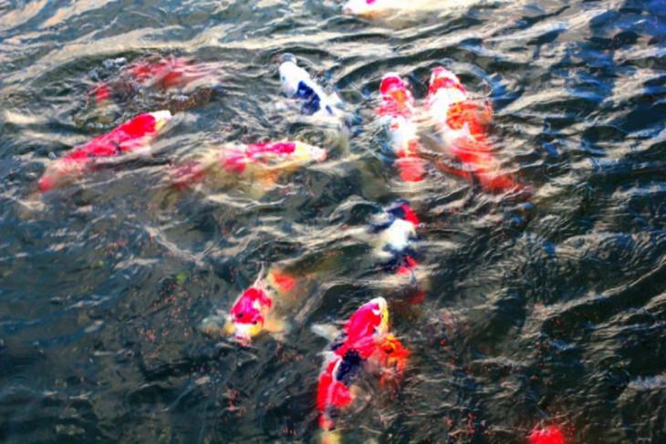 KKP-Unair gelar webinar Merah Putih Ikan Hias