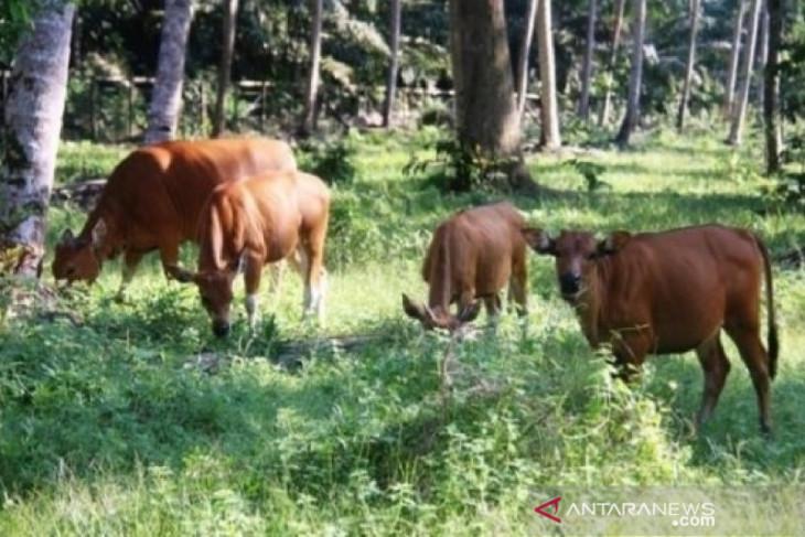 Kabupaten Penajam targetkan populasi sapi 17.000 ekor pada 2023