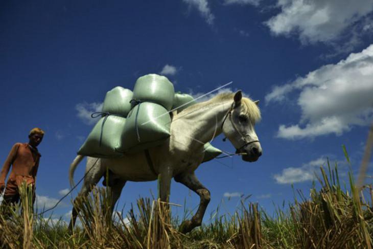 Jasa Angkut Gabah Menggunakan Kuda