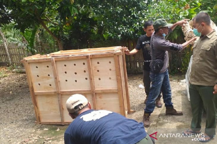 Polisi Seluma sita seekor rusa sambar dalam Operasi Wanalaga Bengkulu