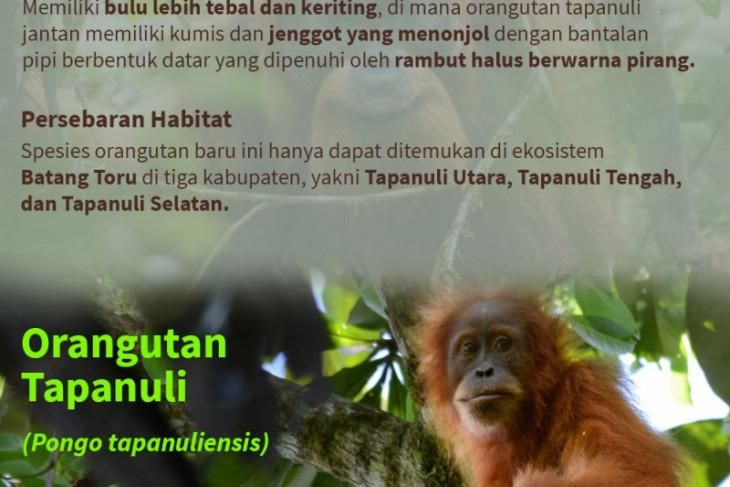 Menemukenali spesies orang utan di Indonesia
