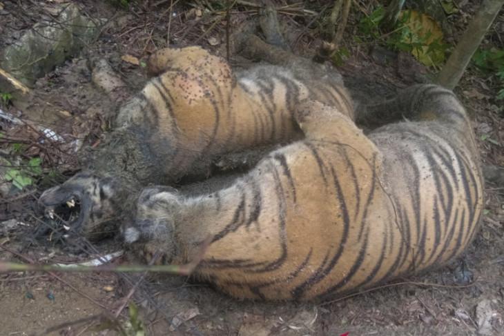 Miris tiga harimau sumatra ditemukan mati akibat jerat sling baja
