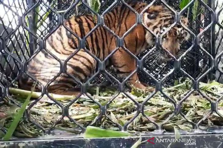 Tiga harimau sumatra ditemukan mati