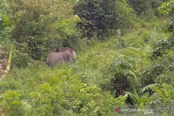 Gajah dari Jambi serang warga Indragiri Hilir Riau