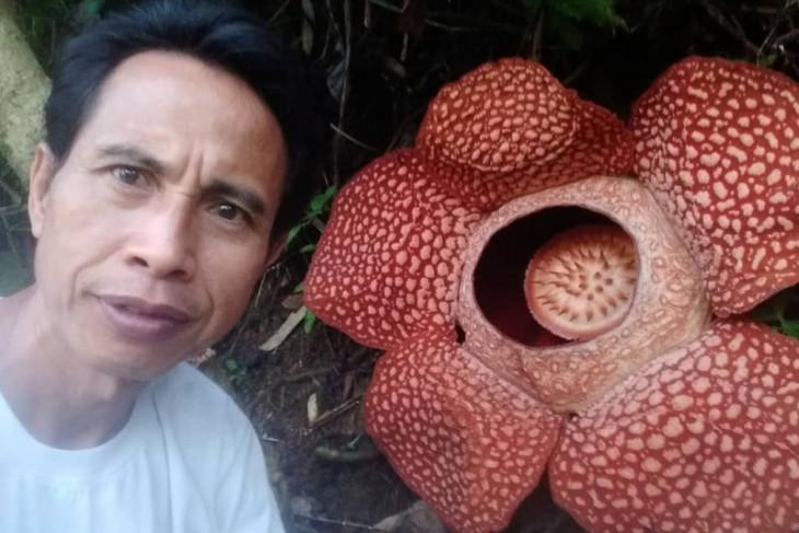 5 hari mekar, bunga Rafflesia arnoldii di Kepahiang masih segar dan cantik