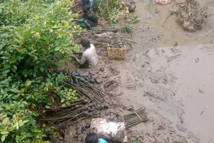 Farmers benefiting from BRGM mangrove planting program: official