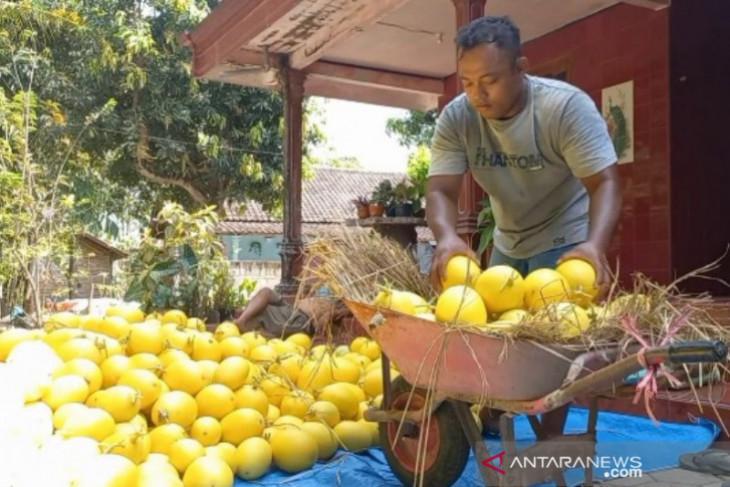 Petani melon raih omzet puluhan juta rupiah