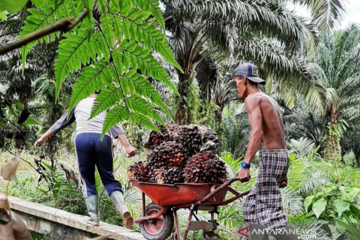 Harga TBS sawit tembus Rp2.542 per kilogram dan selamatkan ekonomi masyarakat