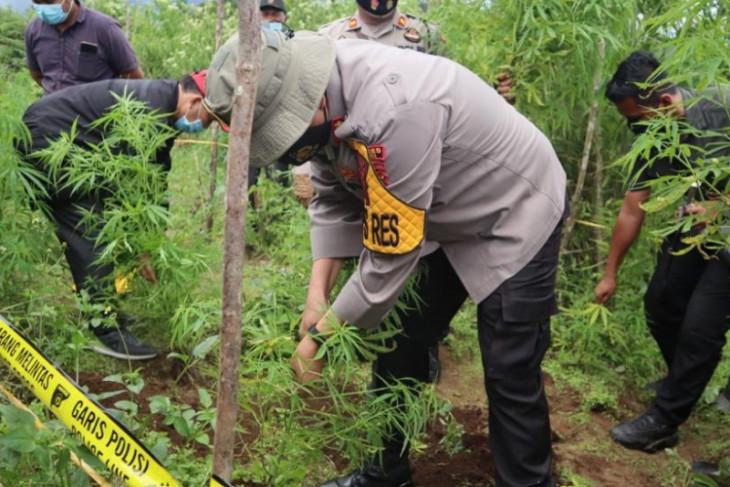 Polisi amankan 200 batang pohon  ganja di Dairi