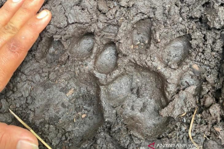 Polisi temukan jejak harimau dan kepala korban