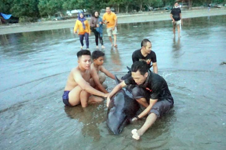 Dua lumba-lumba didorong kembali ke laut Pantai Sidem Tulungagung, satu masih lemah