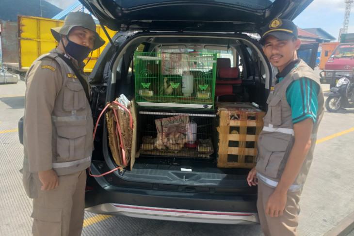 Karantina Pertanian Ternate tahan 49 burung lovebird tegakkan aturan