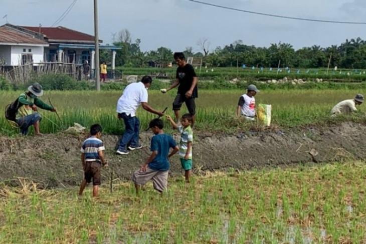 Empat kali tanaman padi gagal panen, petani buru tikus