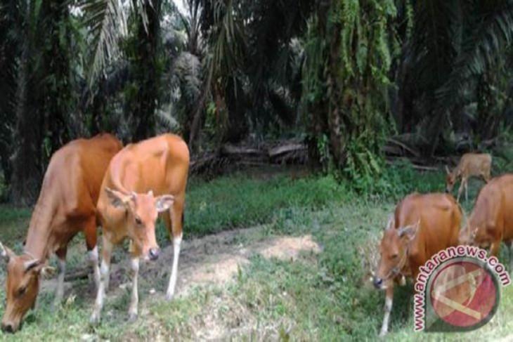 Kalsel percepat swasembada sapi potong dengan integrasi sawit-sapi