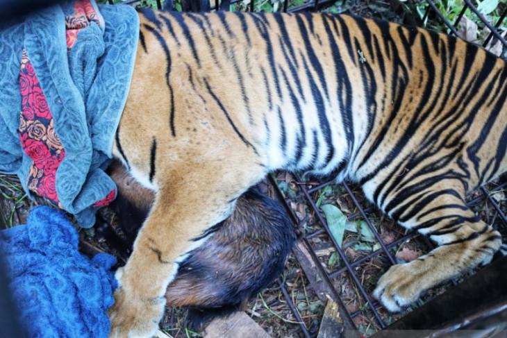 Harimau sumatra direlokasi setelah mangsa warga benarkah harimau yang sama