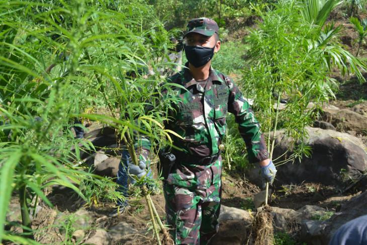 Dandim: Bekas ladang ganja di Aceh Utara dalam pengawasan TNI