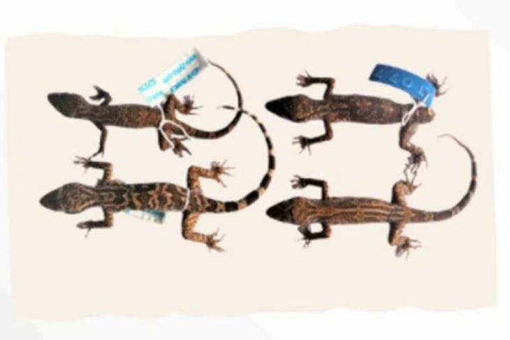 Spesies baru Cecak jarilengkung dari Kalimantan ditemukan