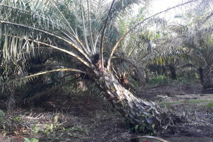 Mukomuko verifikasi data lahan penerima peremajaan sawit