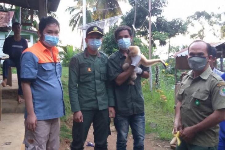 Satwa dilindungi owa dievakuasi ke Pusat Rehabilitasi Primata Besitang Langkat