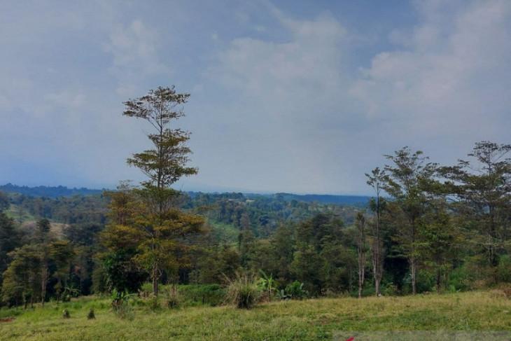 Gutta Percha, pohon berdaun Rp3,5 juta