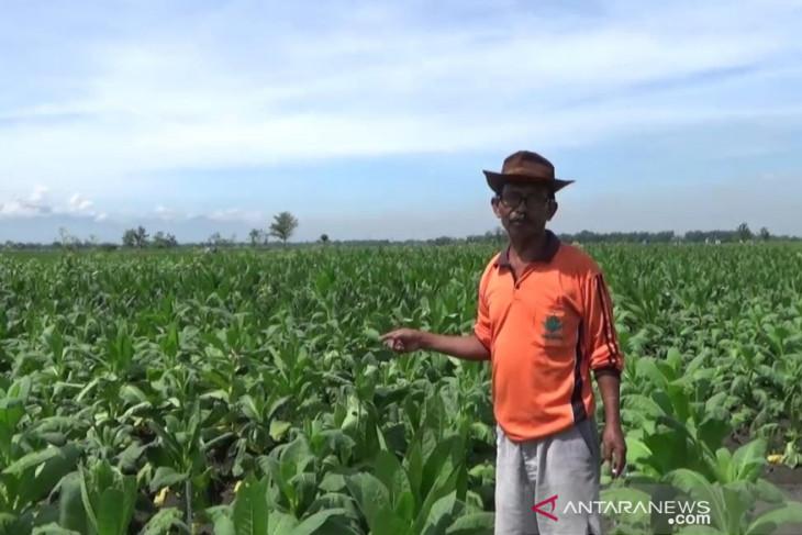 Puluhan hektare tanaman tembakau di Ngawi rusak akibat kemarau basah