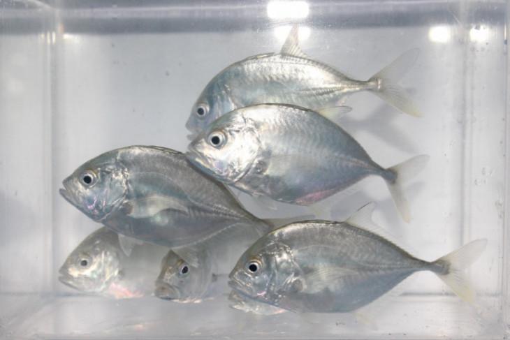 Teknologi budidaya ikan bubara dikembangkan KKP